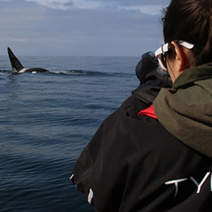 Earthwatch photo of wild orca by David Gaspard